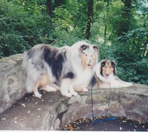 Two collies taken in 2003. Blue merle Ruffian was  my confirmation and obedience showdog/ pet.  Sable Kip was a stray who became adopted through the rescue.