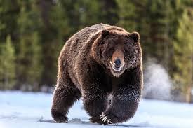 grizzlybear1